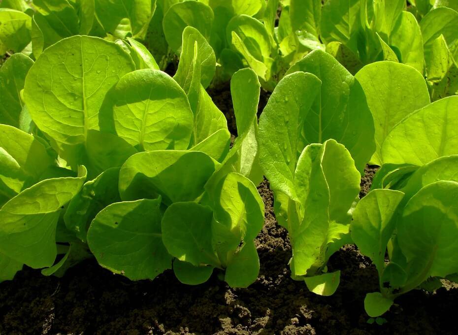 Salad Greens Growing in Garden