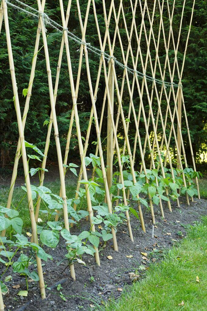 Scarlet Runner Beans growing in Victory Garden