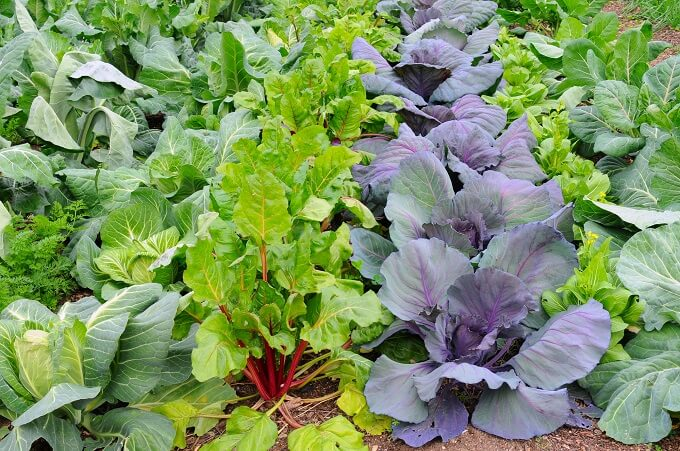 A tightly planted Victory garden in the backyard