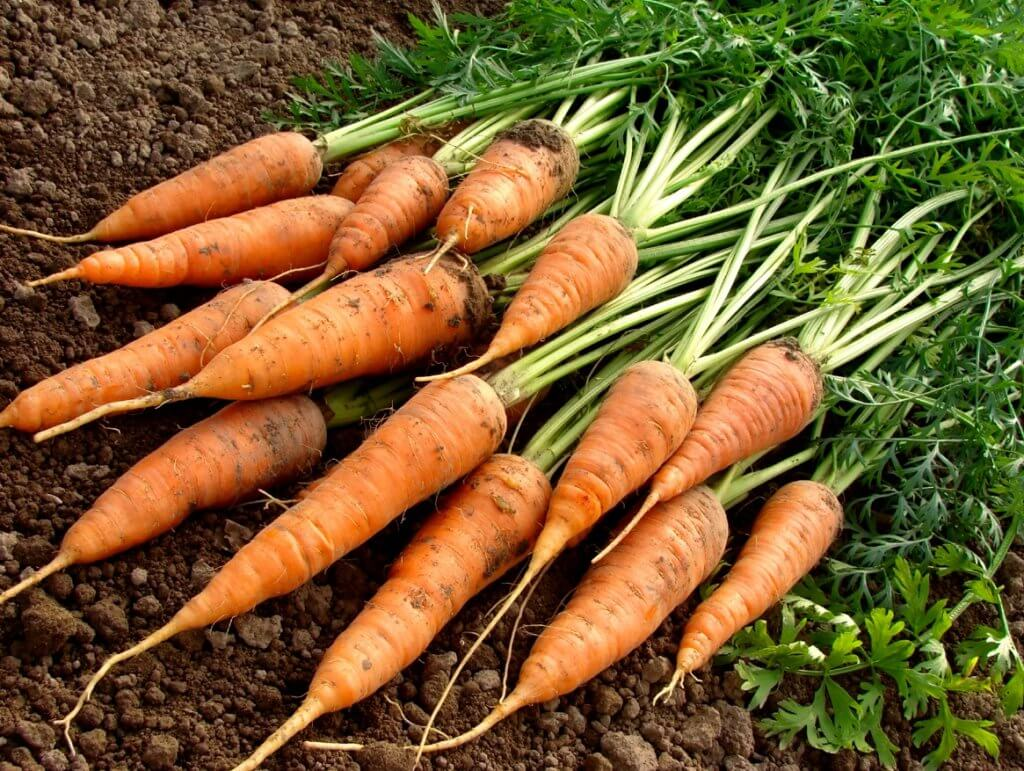 Carrots harvested from a Victory Garden