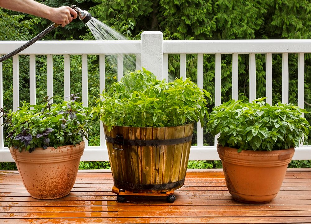watering pots of herbs growing on a patio